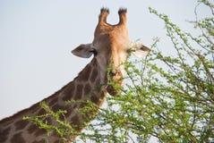 Alimentación de la jirafa fotografía de archivo