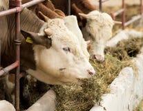 Alimentación de la vaca fotografía de archivo libre de regalías