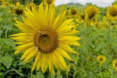 Alimentación de las abejas del primer en la cabeza grande del girasol Imagen de archivo libre de regalías