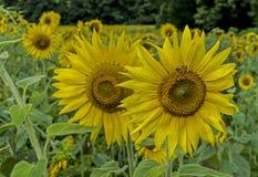 Alimentación de las abejas en las cabezas grandes del girasol Imagen de archivo libre de regalías