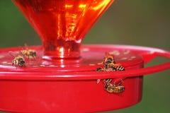 Alimentación de las abejas en un alimentador del colibrí Foto de archivo libre de regalías