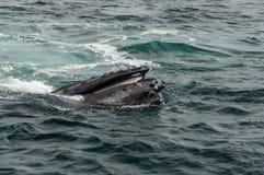 Alimentación de las ballenas jorobadas imagen de archivo