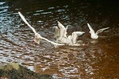 Alimentación de las gaviotas Imagen de archivo libre de regalías