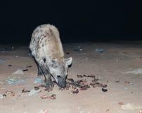 Alimentación de las hienas manchadas Harar, Etiopía Imagen de archivo libre de regalías