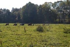 Alimentación de las vacas Fotos de archivo libres de regalías