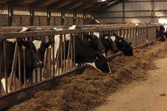 Alimentación de las vacas lecheras Fotografía de archivo
