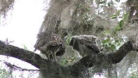 Alimentación de los búhos barrados en una rama almacen de metraje de vídeo