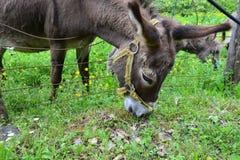 Alimentación de los burros Imágenes de archivo libres de regalías