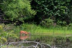alimentación de los ciervos foto de archivo libre de regalías