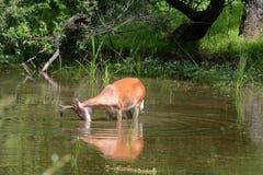 alimentación de los ciervos imágenes de archivo libres de regalías
