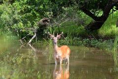 alimentación de los ciervos fotos de archivo libres de regalías