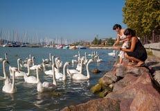 Alimentación de los cisnes Fotos de archivo libres de regalías