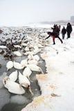 Alimentación de los cisnes de Starwing de la gente fotos de archivo
