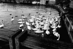 Alimentación de los cisnes Ricos del ¼ de ZÃ, Suiza foto de archivo libre de regalías