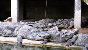 Alimentación de los cocodrilos que mienten en la tierra cerca del río pantanoso verde en parque zoológico tailandia asia almacen de metraje de vídeo