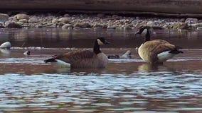Alimentación de los gansos de Canadá en el río Arkansas almacen de video
