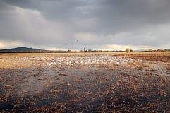 Alimentación de los gansos de nieve Fotos de archivo