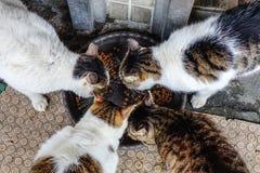 Alimentación de los gatos Foto de archivo libre de regalías