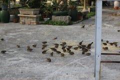Alimentación de los gorriones Foto de archivo libre de regalías
