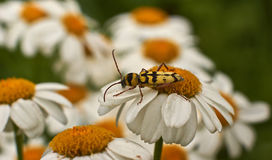 Alimentación de los insectos en el polen en las flores Imagen de archivo