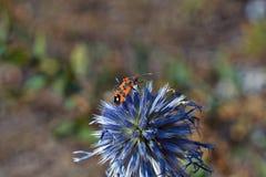 Alimentación de los insectos en el polen en las flores Fotografía de archivo libre de regalías