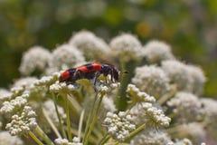 Alimentación de los insectos en las flores Foto de archivo