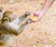 Alimentación de los monos. Foto de archivo libre de regalías