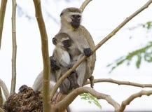 Alimentación de los monos de la mamá y del bebé Imagenes de archivo