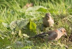 Alimentación de los pájaros Fotos de archivo libres de regalías