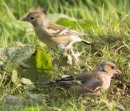 Alimentación de los pájaros Imagenes de archivo