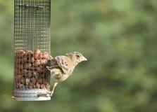 Alimentación de los pájaros Fotos de archivo