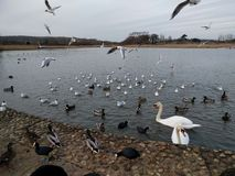Alimentación de los patos Fotos de archivo