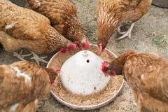Alimentación de los pollos Foto de archivo libre de regalías