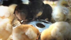 Alimentación de los pollos del bebé almacen de video