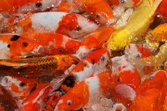 Alimentación de pescados colorida del koi imágenes de archivo libres de regalías