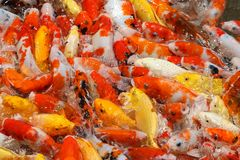 Alimentación de pescados colorida del koi Imagen de archivo