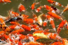 Alimentación de pescados colorida del koi Fotos de archivo libres de regalías