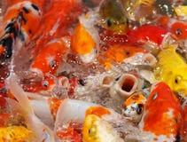 Alimentación de pescados colorida del koi Foto de archivo libre de regalías
