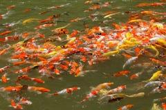 Alimentación de pescados colorida del koi foto de archivo