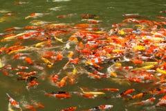Alimentación de pescados colorida del koi fotografía de archivo libre de regalías