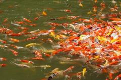 Alimentación de pescados colorida del koi fotos de archivo