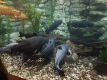 Alimentación de pescados en acuario grande fotos de archivo libres de regalías
