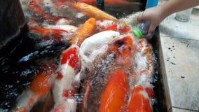 Alimentación de pescados de lujo de la carpa por las botellas de leche metrajes