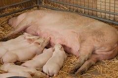 Alimentación de Pigglets Imagen de archivo libre de regalías