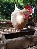 Alimentación de pollo foto de archivo libre de regalías