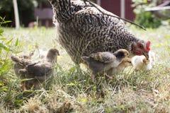 Alimentación de pollo sus polluelos hierba y bayas Imagen de archivo libre de regalías