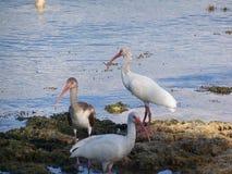 Alimentación de tres pájaros de Ibis cerca de la línea de la orilla Imagen de archivo