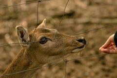 Alimentación de un ciervo con una mano imagen de archivo libre de regalías