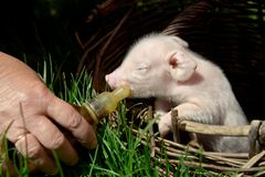 Alimentación de un cochinillo recién nacido en una cesta de una botella con un pacifi imágenes de archivo libres de regalías