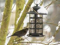 Alimentación de un mirlo en el invierno Fotografía de archivo